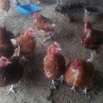 養鶏場の悩み事