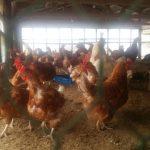 廃鶏の行方
