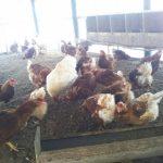 トリ年早々、安全な鶏で色々体験しませんか