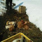 鶏を絞める