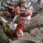 今日の鶏はラッキーな鶏